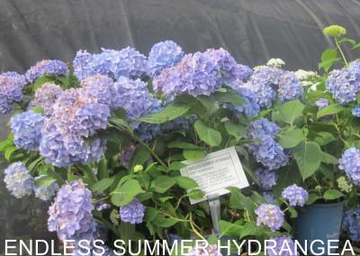 Endless Summer hydrangeH