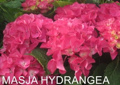 Masja Hyrangea