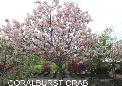 Coralburst Crab