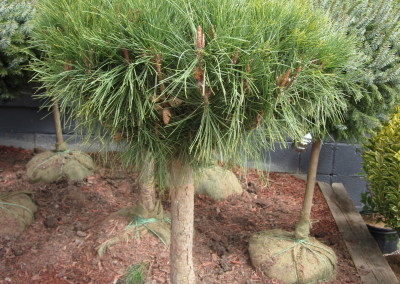 Tanysho Pine