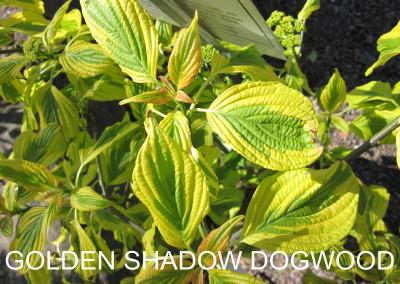 Golden Shadows Dogwood