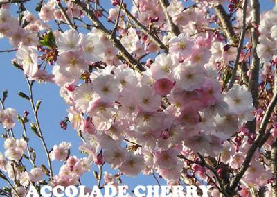 Acolade Cherry