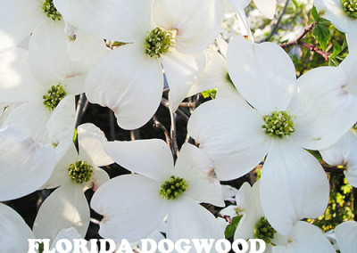 Florida Dogwood