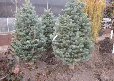 Englemann Dwarf Spruce