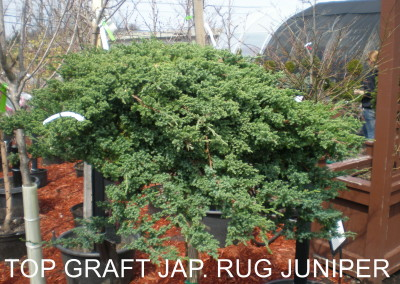 Jap. Rug Garden Juniper