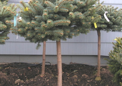 Top Graft Blue Spruce