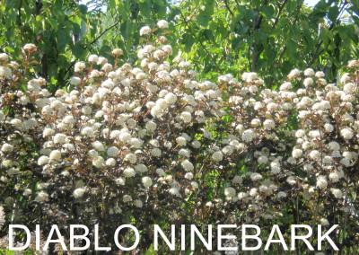 Diablo Ninebark