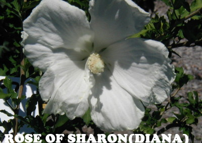 Diana Rose Of Sharon