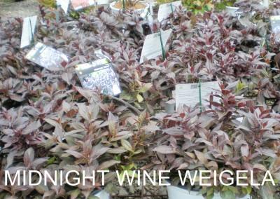 Midnight Wine Weigela