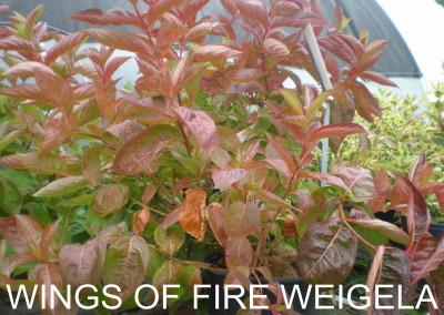Wings Of Fire Weigela