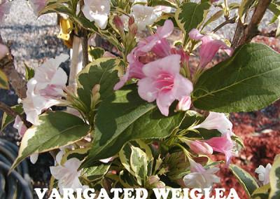 Verigated-Weiglia