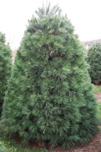 White-Pine-